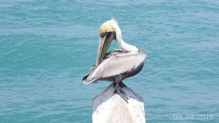1 Pelican Banco de Imagens