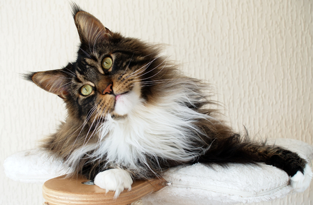 Brown tabby with white Maine Coon boy on top of his cat tree looking curious and sweet.