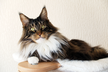 Brown tabby with white Maine Coon cat on top of his cat tree looking straight at you. Stock Photo