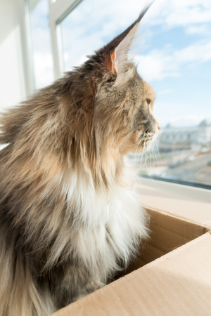 Blue tortie tabby with white Maine Coon cat with extremely long lynx tips on her large ears, sitting in a cardboard board box, is looking out of the window. She is a modern type of Maine Coon with the much loved feral, wild, look. From award winning blood