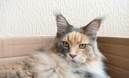 Blue tortie tabby with white Maine Coon cat with extremely long lynx tips on her large ears laying in a cardboard box. She is a modern type of Maine Coon with the much loved feral, wild, look. From award winning blood lines and show quality. The photo was Stock Photo