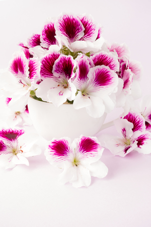 porcelain flower: White and pink flower heads in a white porcelain cup on pastel violet background.
