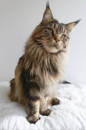 origen animal: Adorable brown tabby Maine Coon sitting upright and looking curious.