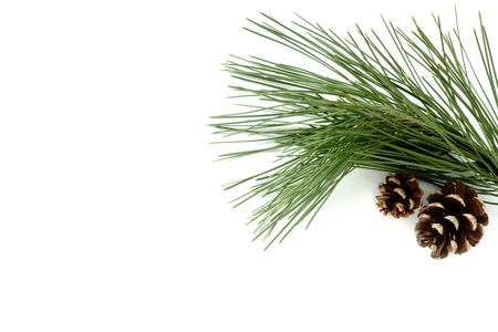 Twigs: Twig of real natural Pine Tree and two natural Pine Cones isolated on white background. Stock Photo