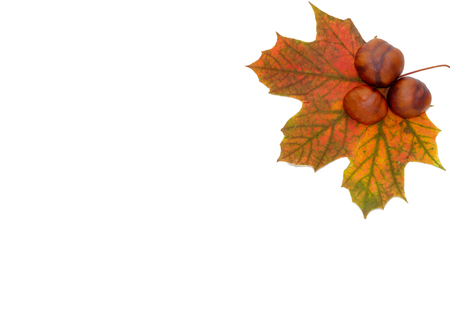 One big chestnut leaf with three chestnuts isolated on white background with lots of copy space.