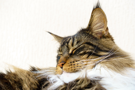 Closeup of a sleeping show quality brown tabby with white Maine Coon cat who is sleeping with his head held up, showing his excellent chin, beautiful long white ruff and lynx tips on his large ears.