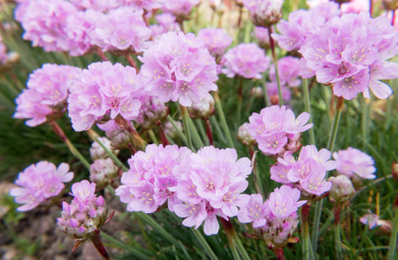 Closeup of bright pink Sea Thrift, Armeria Maritima, flowers.