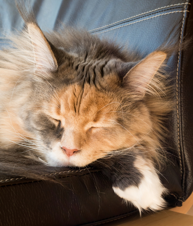 catnap: Closeup of a beautiful blue tortie tabby with white Maine Coon cat with extremely long lynx tips sleeping on a leather armchair.