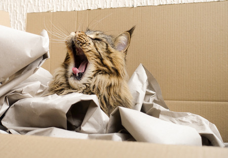 Brown tabby Maine Coon cat sitting yawning in his most loved cat bed, a cardboard box, filled with packaging paper. Stock Photo - 78775864