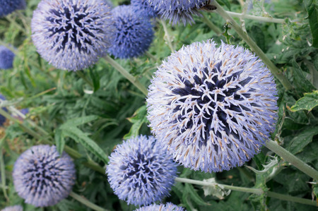 Closeup of a Globe Thistle flowerbed with shallow depth of field.