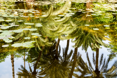 Water lilies in pond with the reflection of palm trees and sky in the water.