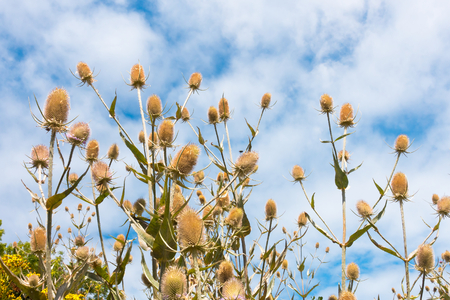 Closeup of wild teasel, dipsacus fullonum, with the sky in the background. Stock Photo - 107739410