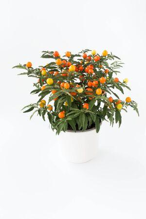 Winter Cherry, Solanum Capsicastrum, plant in white plant pot isolated on white background.