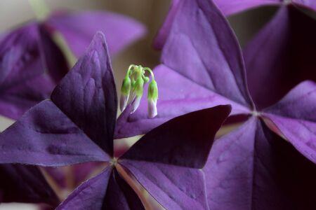 blooming sorrel also called Brazilian lucky clover Stock Photo