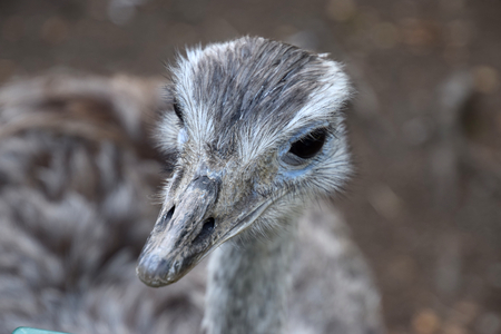 Greater rhea female looking at you