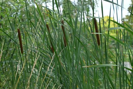 big broadleaf cattail in wetland landscape Stock Photo