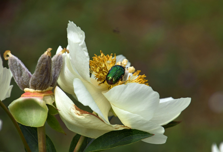 green golden shimmering rose chafer beetle on peony flower, protaetia aeruginosa on paeony blooming