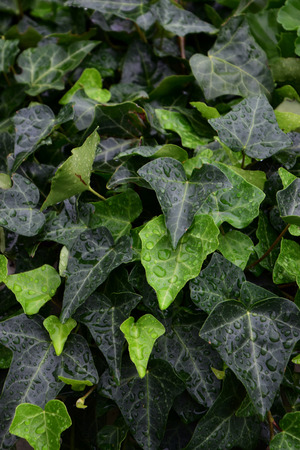 ivy leaves covered with water drops, green ivy background with water droplets