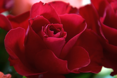 close-up view of a red rose bud in soft optics, unusual representation of red roses in sharpness and appearance