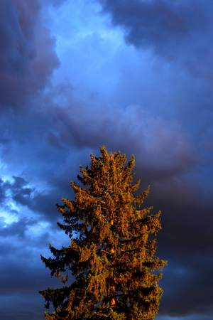 gloomy cloudy sky in the evening in contrast to a big conifer illuminated by the setting sun, dark sky before rainy