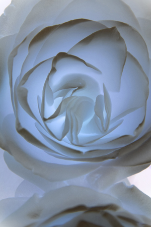 transparent gray roses in soft look for background, abstract colored radiant pastel rose macro shot
