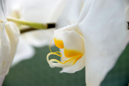 macro of white orchid bloom looks like an insect, white orchids side view in front of pastel colored background