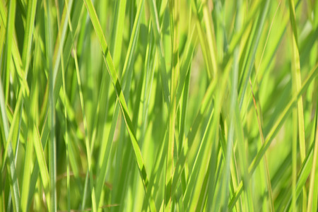 blurred bright-green reed grass juicy green colored as grasses background, calamagrostis background in summer