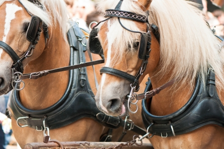 A matched pair of draft horses ready to plow a field Stock Photo