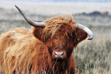 Scottish Highland cow with twisted horns