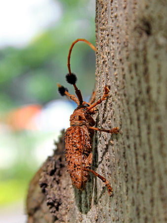 longhorn: Longhorn beetle on a tree