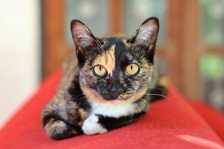 calico cat: Calico cat sitting on a roll of red carpet