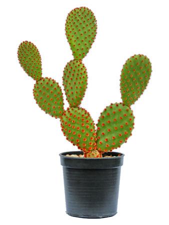 cactus flower: Cactus Isolated On White Background