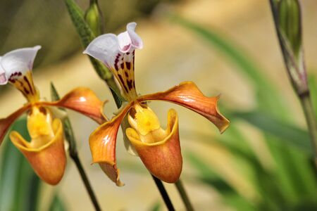 lady slipper: Lady slipper Paphiopedilum villosum Stock Photo
