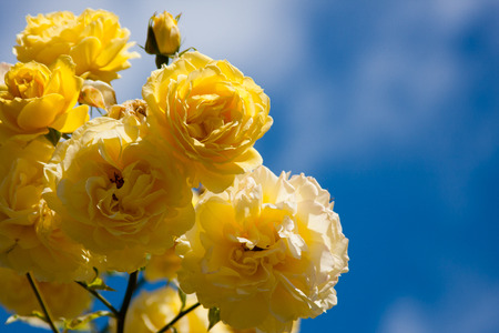 Yellow Roses against Blue Sky