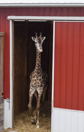 giraffe coming out from barn Stock Photo