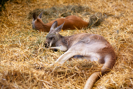 environmental issues: Kangaroos resting Stock Photo