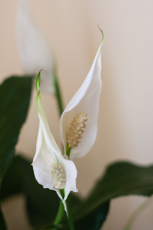 peace lily plant bloomed indoor Фото со стока