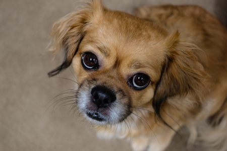 tibetan spaniel dog looking up Фото со стока