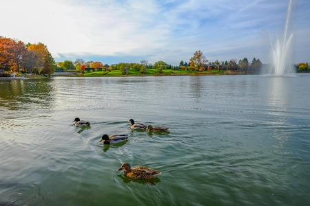 ducks swimming on pond in triangle shape