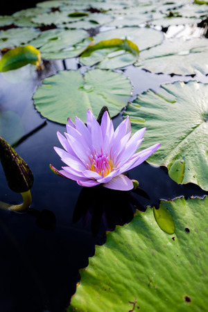 single purple lotus flower with water lilies Фото со стока