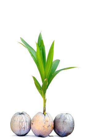 sprout of coconut tree on white background Standard-Bild