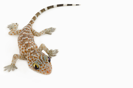 closeup of gecko on white background
