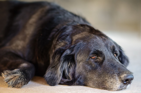 closeup image of a black dog laying down on the floor.