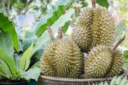 A group of durians placed on the basket in the garden at Jantaburi province,Thailand.