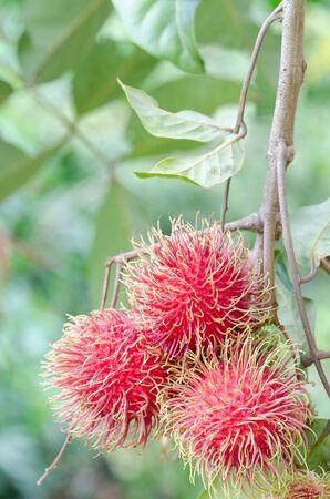 Fresh rambutans on the tree.
