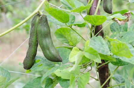 정원에서 Mucuna pruriens입니다. 열대 콩과 식물로 벨벳 콩이라고도합니다. 스톡 콘텐츠