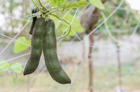 legume: Mucuna pruriens in the garden. it is a tropical legume,also known as velvet bean.