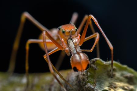 Jumping spider - Myrmarachne plataleoides (Male) or Kerengga ant-like jumper. Macro photography. Stock Photo