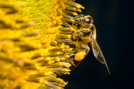 Covered-pollen worker bee flying and gathering nectar from sunflowers. macro photography.