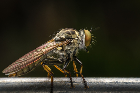 Robber fly close-up. Stock Photo